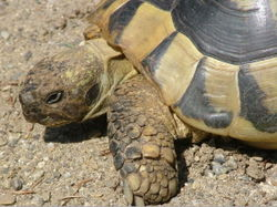 Schildkröte Graeca